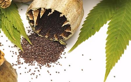 semillas marihuana